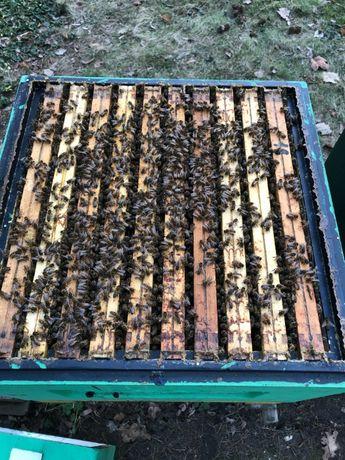 pszczoły rodziny pszczele