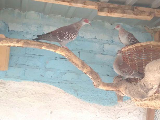 Гвинейские голуби