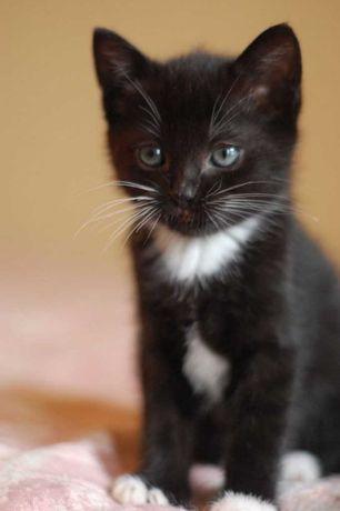 Чорнобілі кошенята в добру родину