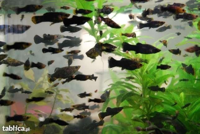 Rybki Akwariowe Molinezja