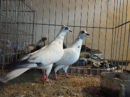 Sprzedam dwa samczyki wiedeńskie 020. Gołębie ozdobne.