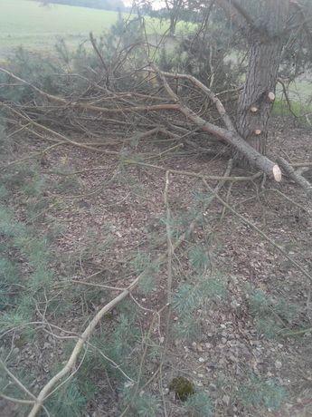 Oddam za darmo gałęzie sosnowe