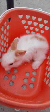 Vendo coelhos anões e coelhos leão