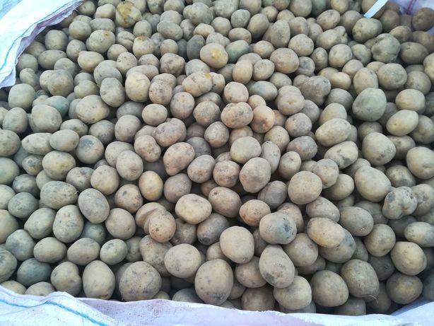 Sadzeniaki vineta 0.70 gr/kg  jadalne 1.20