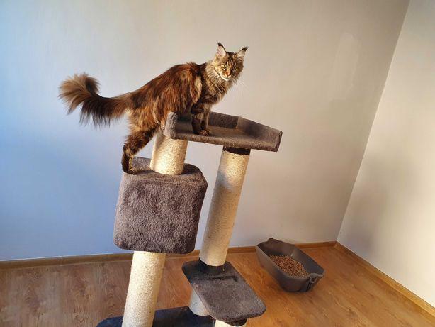 Maine coon kotka w opcji hodowlanej