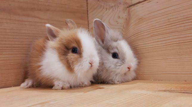 Карликовые супер мини декоративные торчеухие и вислоухие кролики