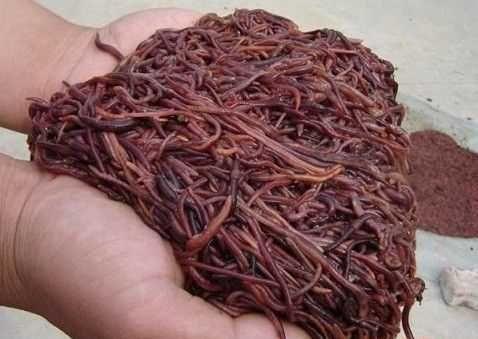 Dżdżownice kalifornijskie kompostowe Eisenia Fetida 2000 szt.