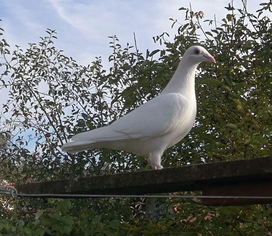 Białe gołębie pocztowe. Biały gołąb pocztowy.