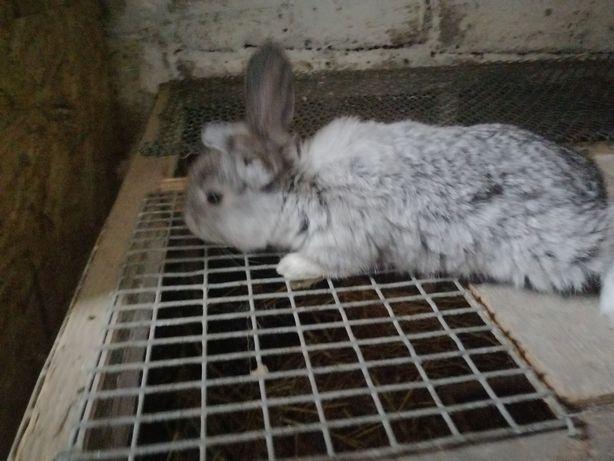 Młode króliki na sprzedaż po samcu bosz