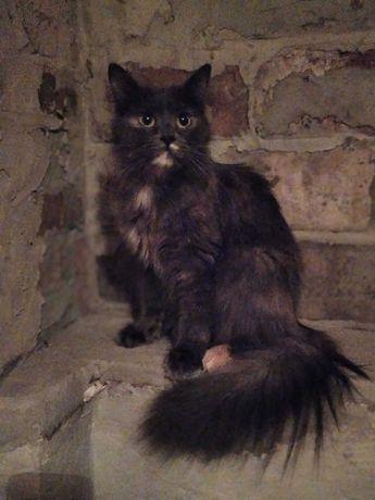 Красивая кошка породы Шантильи-Тиффани в поиске порядочной семьи!