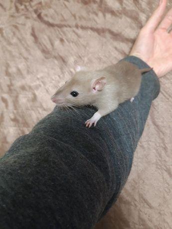 Декоративная крыса дамбо, 2.5 месяцев