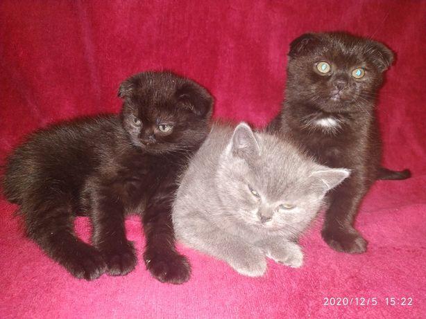 Шотландские котята 1,5 месяца