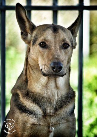 Dingo- roczny psiak