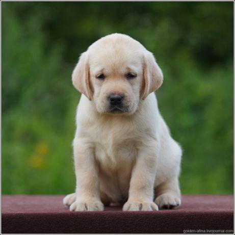 Лабрадор щенок Премиум мальчик