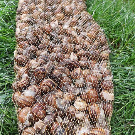 Продам равлики,живі а також морожені
