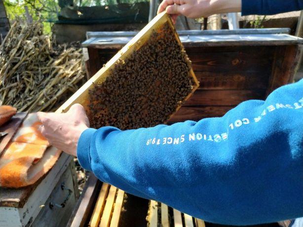 Пчелы, пчелосемьи, пчелопакеты, продам пчёл