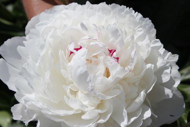 Піона травяниста павонія біла рожева вишнева