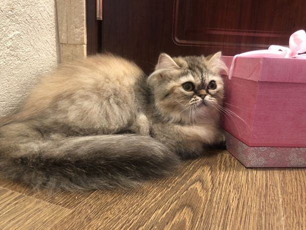 Девочка перс