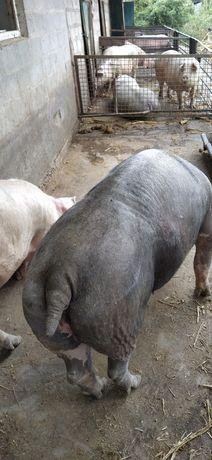 Продам свиноматок.