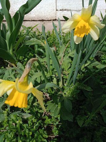 Нарцис низкорослый жёлтый