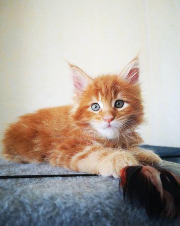 Питомник предлагает к резерву котят Мейн кун