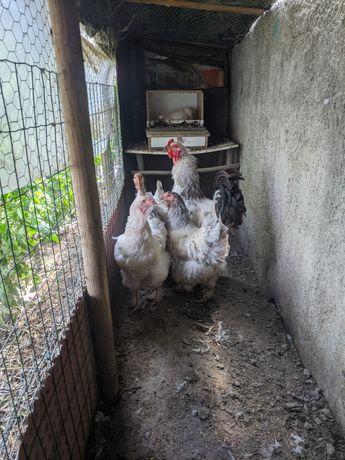 Vendo conjunto de duas galinhas e um galo de raça Brahma