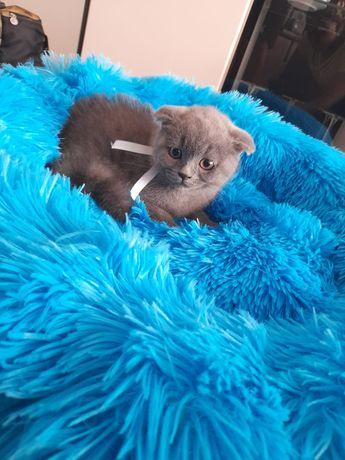Schottish fold azul fêmea