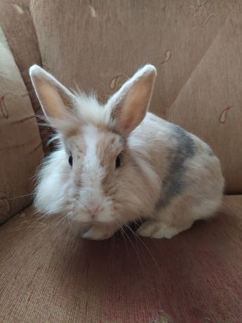 Królik króliczek miniaturka karzełek długowłosa samiczka niebieskooka