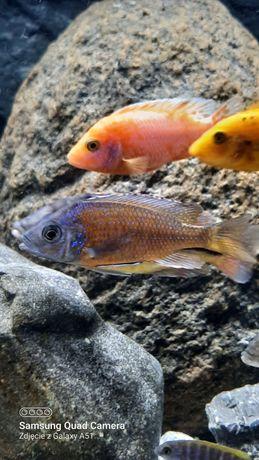 Pyszczak Copadochromis borley kadango