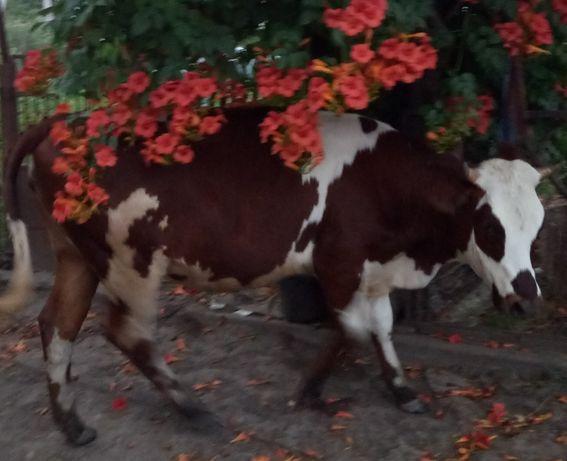 Тёлочка на корову