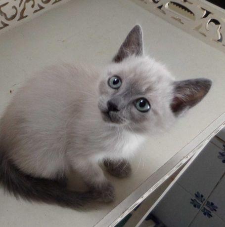 Alegria em casa, lindo gatinho Blue Point cinzenta
