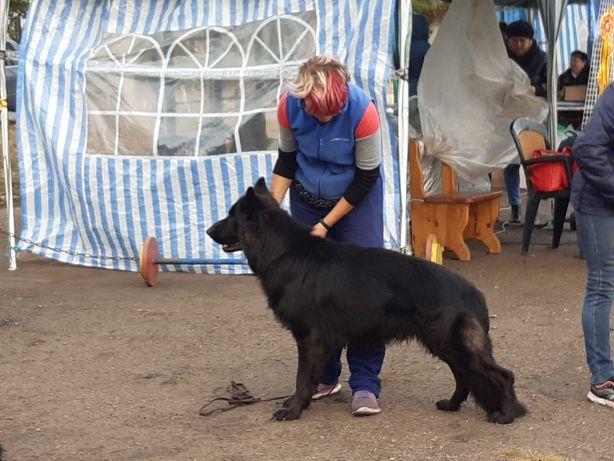 Немецкая овчарка черный кобель вязка