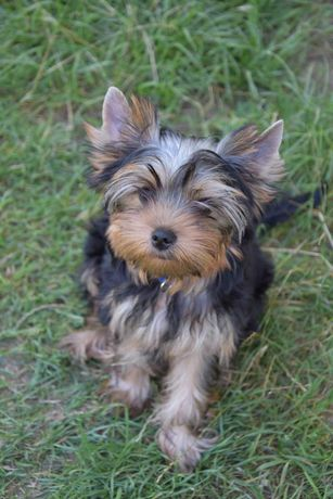 Yorkshire Terrier z metryką ZKwP/FCI
