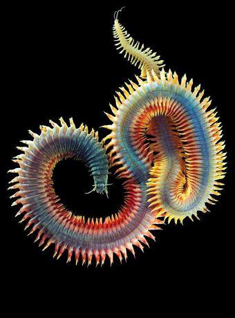 Морской Червь нереис