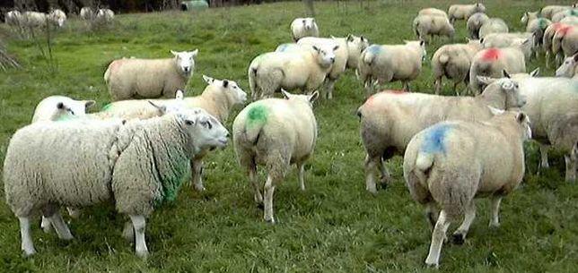Arnês marcador para carneiro/bode, marcação de cabras e ovelhas