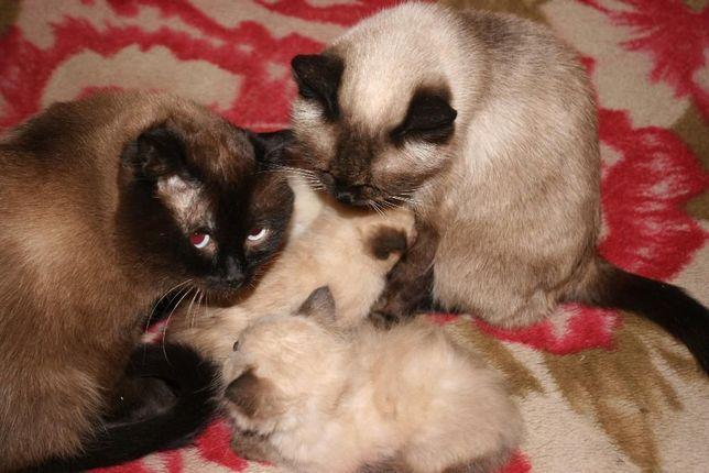 Продаю сиамских котят