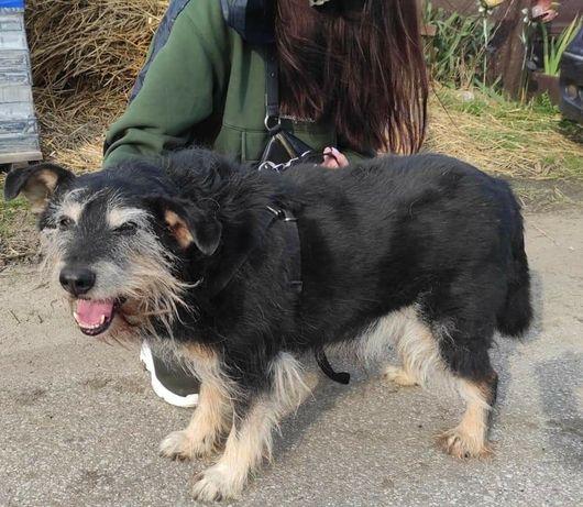 Piesek samiec za darmo adopcja starszy psiak czeka na szansę tęskni