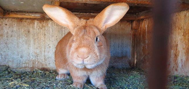 Кролики бургундец