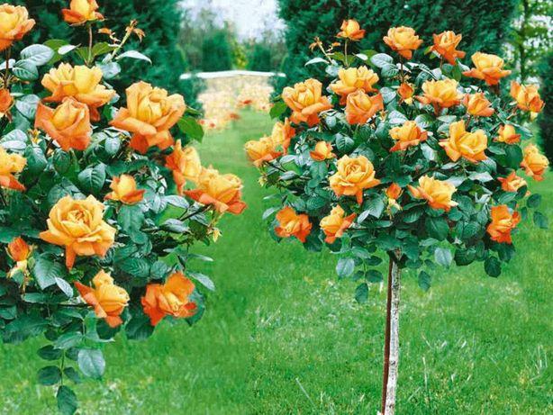 Róża, Róże sztamowa Pomarańczowa, Różowa- różne kolory