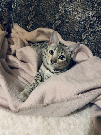 Kot bengalski bengale koty bengalskie silver brown
