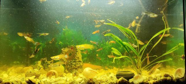 Rybki Gupiki Endlera