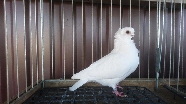 Gołąb gołębie Mewki mewka mewek biały