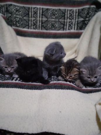 Британські весливухі котенята