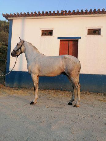 Cavalo Puro-sangue Lusitano