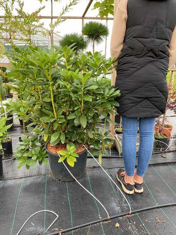 Rododendron w Doniczce DUŻY rododendrony krzewy iglaki Transport