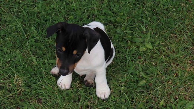 Jack Russell Terrier/BREFIO piesek gładkowłosy - rezerwacja