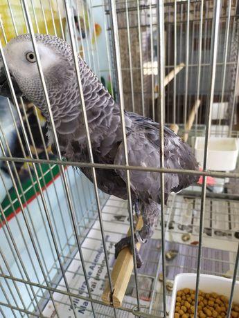 Papagaio cinza de cauda vermelha