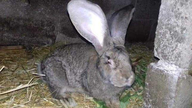 Olbrzym belgijski samiec (królik)  wiek 13 miesięcy.