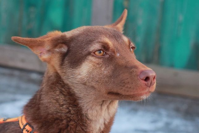 Бесплатно: шоколадный щенок Карина, 6,5 мес, стерилизована