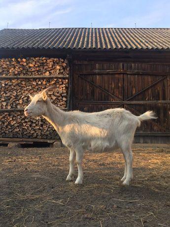 Koza mleczna